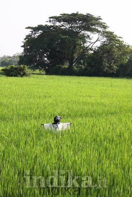 Manichino nella risaia